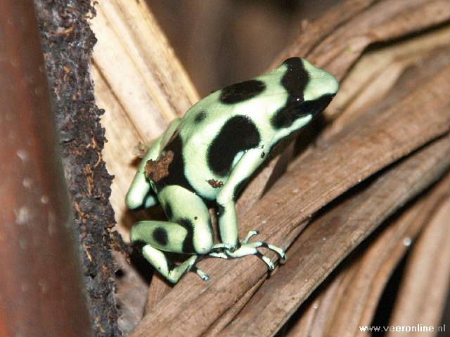 Costa Rica - Black and green Dart Frog